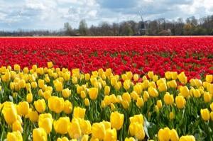 Bộ sưu tập những vườn hoa tulip sặc sỡ và ấn tượng nhất 4