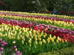 Bộ sưu tập những vườn hoa tulip sặc sỡ và ấn tượng nhất 5