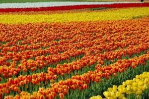 Bộ sưu tập những vườn hoa tulip sặc sỡ và ấn tượng nhất 8