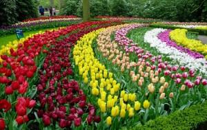 Bộ sưu tập những vườn hoa tulip sặc sỡ và ấn tượng nhất 9