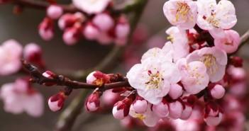 Bộ Sưu Tập Những Hình Ảnh Hoa Đào Ngày Xuân Đẹp Nhất Giúp Bạn Cảm Nhận Không Khí Tết Đang Về( Phần 1) 1