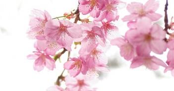 Bộ sưu tập những hình ảnh hoa đào ngày xuân đẹp nhất giúp bạn cảm nhận không khí tết đang về( phần 2) 5