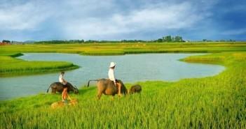Hình ảnh cánh đồng lúa miền quê đẹp thơ mộng và yên bình đến lạ 10