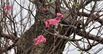 Hình ảnh cây đào ngày tết đẹp nhất to nhất giá trị nhất 16