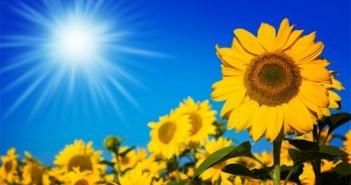 Hình ảnh hoa hướng dương nở rộ vô cùng rực rỡ sẽ khiến bạn say mê 6