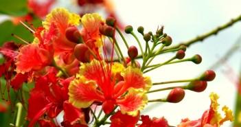 Hình ảnh hoa phượng vĩ tươi thắm gợi nhớ tuổi học trò đầy mơ mộng 13