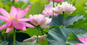 Hình ảnh hoa sen nở đẹp tuyệt vời vô cùng lý tưởng để làm ảnh bìa facebook 6