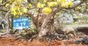 Hình ảnh những cây mai đẹp nhất ở Việt nam trong ngày tết 6
