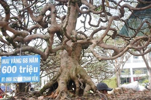 Hình ảnh những cây mai đẹp nhất ở Việt nam trong ngày tết 7