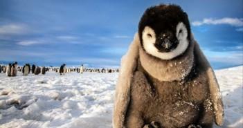 Hình ảnh những chú chim cánh cụt ngộ nghĩnh và đáng yêu sẽ làm bạn mỉm cười