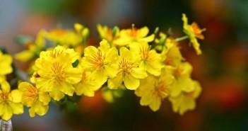 Tuyển tập hình ảnh hoa mai ngày tết vô cùng rực rỡ và đặc sắc 2