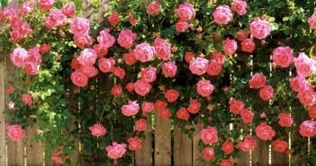 Tuyển tập hình ảnh vườn hoa hồng đẹp rực rỡ và lãng mạn 4