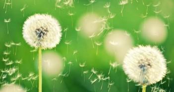 Bộ sưu tập hình nền hoa bồ công anh đẹp mong manh tinh khiết 9
