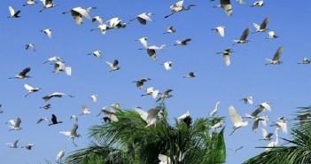 Hình ảnh đàn cò trắng bay lượn trên cánh đồng vô cùng thanh bình và yên ả 6
