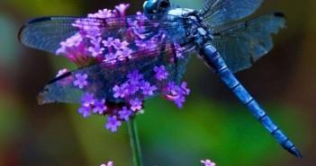 Hình ảnh những chú chuồn chuồn nhiều màu sắc vô cùng sinh động và thú vị 6