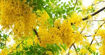Tuyển tập hình ảnh hoa bò cạp vàng lung linh rực rỡ 6