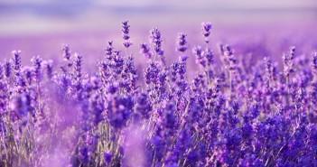 Tuyển tập hình ảnh hoa oải hương tím mộng mơ đẹp tuyệt vời 9