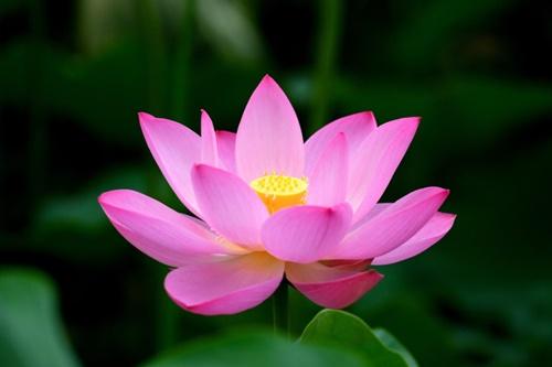 Hoa sen đẹp tuyệt vời nhất thế giới 1
