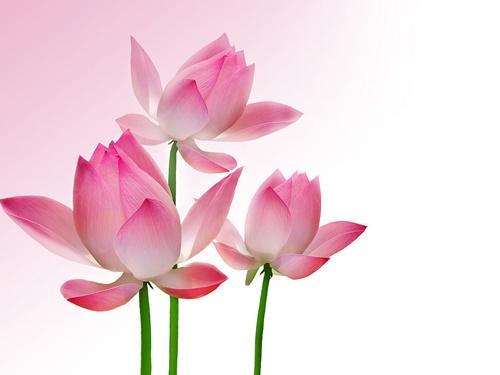 Hoa sen đẹp tuyệt vời nhất thế giới 2