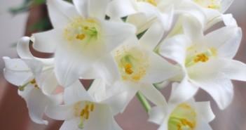 Hình ảnh hoa loa kèn trắng đỏ vàng đẹp trong tháng 4 3