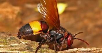 Ong vò vẽ đốt có độc không - Cách chữa ong đốt 3