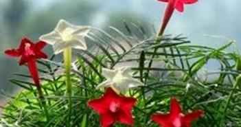 Hoa tóc tiên leo hồng đỏ vàng nhiều màu sắc có tác dụng lọc khí 12