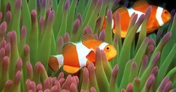 Những hình ảnh đẹp về loài cá hề bên cạnh những rạn san hô 1